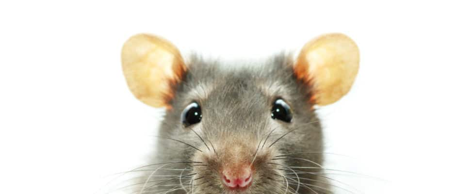 Rodent Removal Service Frisco TX