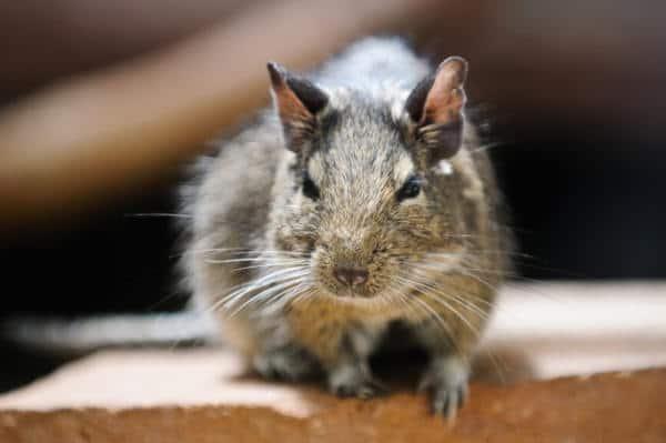 Rodent Control Service Frisco TX