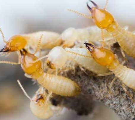 Pests Termites